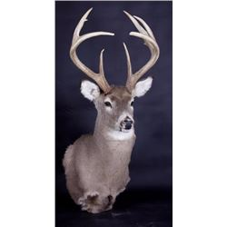 Montana Whitetail Deer Shoulder Mount