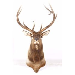 Rocky Mountain Elk Shoulder Mount