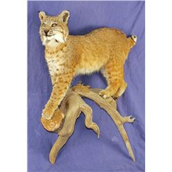 Taxidermy Mounted Bobcat