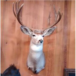Taxidermy for a Deer Shoulder Mount by Kevin Lucier