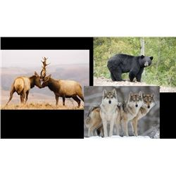 9 Day Hunt for Elk, Black Bear, and Wolf for One Hunter