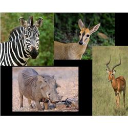 7 Day Burchell Zebra, 2 Impalas, Warthog, African Duiker Hunt for Two Hunters