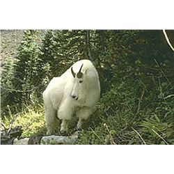 10 Day Mountain Goat Hunt for One