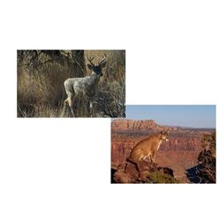 5 Day Coues Deer with Mt. Lion Hunt for One, (Can be upgraded to a 7 days)