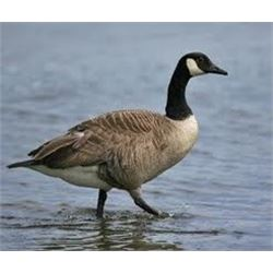 1 Day Goose Hunt for One Hunter - Central Michigan
