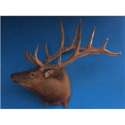 "360""+ Velvet Elk Shoulder Mount"