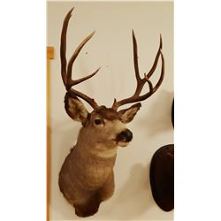 Mule Deer shoulder mount, 4x4