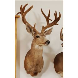 Mule Deer shoulder mount, 7x9 in velvet, non-typical