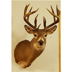 Whitetail Deer shoulder mount, 8x8, non-typical
