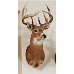 Whitetail Deer shoulder mount,10x9, non-typical