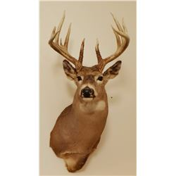 Whitetail Deer shoulder mount, 6x5