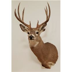 Whitetail Deer shoulder mount, 5x4