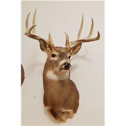 Whitetail Deer shoulder mount, 5x5