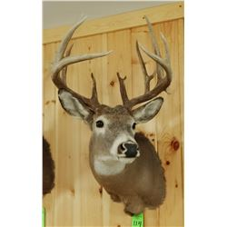 Whitetail Deer shoulder mount, 6x9, non-typical