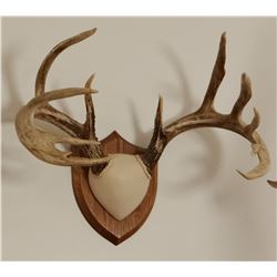 Whitetail Deer plaque mounted antlers, 7x7