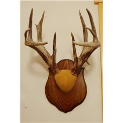 Whitetail Deer plaque mounted antlers, 7x7, non-typical