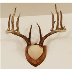 Whitetail Deer plaque mounted antlers, 9x5, non-typical