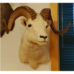 Dall Sheep shoulder mount, full curl