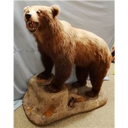 Grizzly Bear full mount on false rock