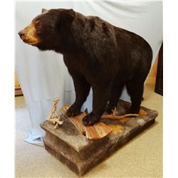 Black Bear full mount on false rock, on casters