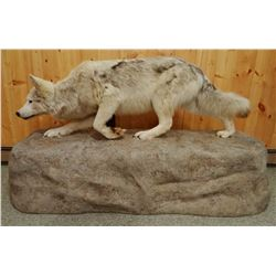 Gray Wolf full mount on false rock