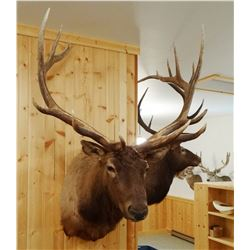 Rocky Mountain Elk shoulder mount, 7x6,
