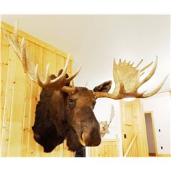 "Moose shoulder mount, 15x14, 60""w"