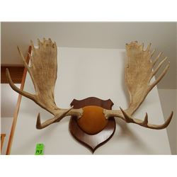 Moose antlers, plaque mounted, 10x10