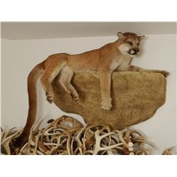 Mountain Lion full mount on false rock