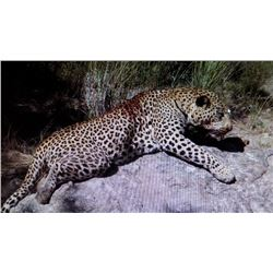 14 Day Leopard Hunt in Africa