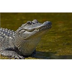 Florida - Alligator Hunt for 1 Hunter - Including two full days of guiding -
