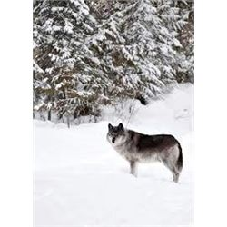 6 Day Wolf Hunt & Trap Line Excursion in British Columbia