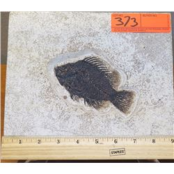 Fossil: Fish (Acanthom Orph, circa 57 million years) on Square Rock Sheet