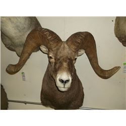 """Rocky Mountain Bighorn Mount- Bases 15.5""""- Horns 38"""" One Side Slightly Broomed-Plugged MT 22287"""