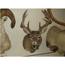 """Non Typical Whitetail Mount- 140"""" Class Buck"""
