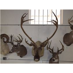 """Caribou Mount- 37""""W- Double Shovels on One Side"""