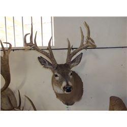 """Non Typical Whitetail Mount- Mid 150's"""" Class Buck"""