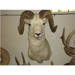 """Dall Sheep Mount- Bases 12""""- Horns 32""""- Both Sides are Broomed"""
