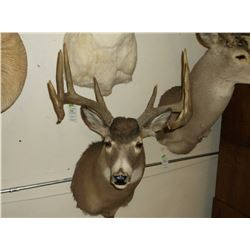 """Typical Whitetail Mount- 150"""" Class Buck"""