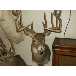 """Non Typical Whitetail Mount- 160+"""" Class Buck"""