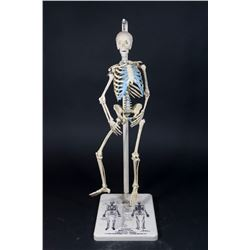 Plaster Skeleton Model from John Hopkins Univ.