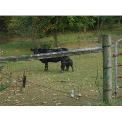 2 PAIR /  Black Angus Cattle / Brood Cows and Calves