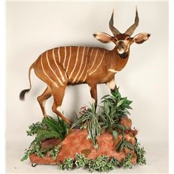 Very Rare Beautiful Full Mount Bongo