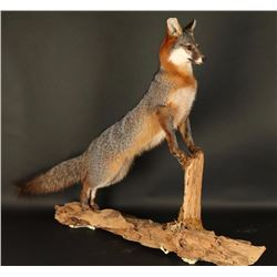 Full Mount Gray Fox