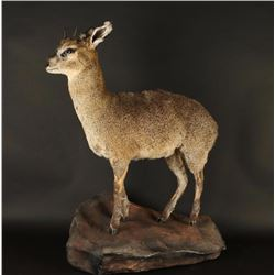 Full Mounted Dik Dik