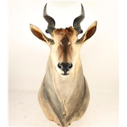 Large Eland Shoulder Mount