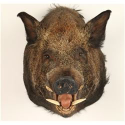 Eurasian Boar Shoulder Mount