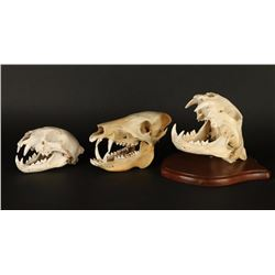 Lot of 3 Animal Skulls