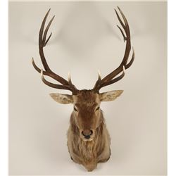 Large Shoulder mounted Elk