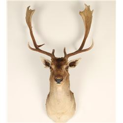 Small Elk Mount
